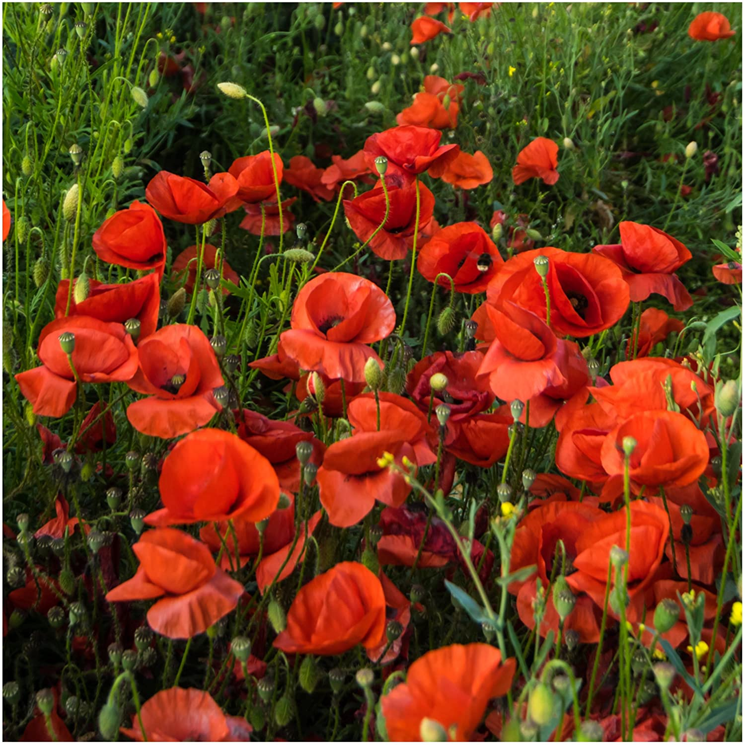 Amazon Bulk Package Of 100 000 Seeds Red Poppy Corn Poppy