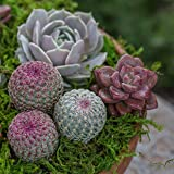 "Altman Plants Assorted Live Succulents Fairy Garden Collection Colorful large plants for DIY terrariums and planters, 3.5"", 6 Pack"