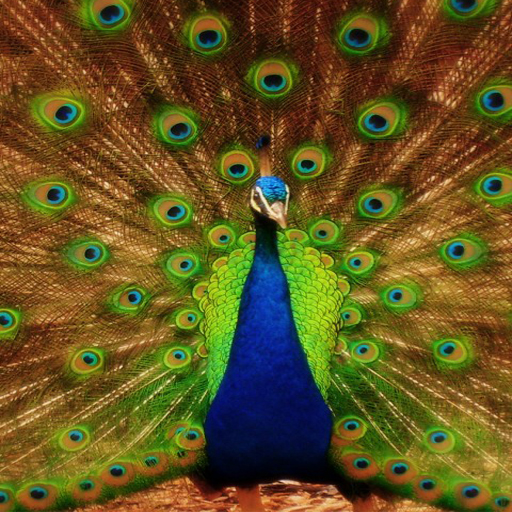 Amazon.com: Peacock Wallpapers: Appstore For Android