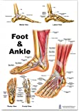 Foot and Ankle Anatomical Poster, size 12Wx17T
