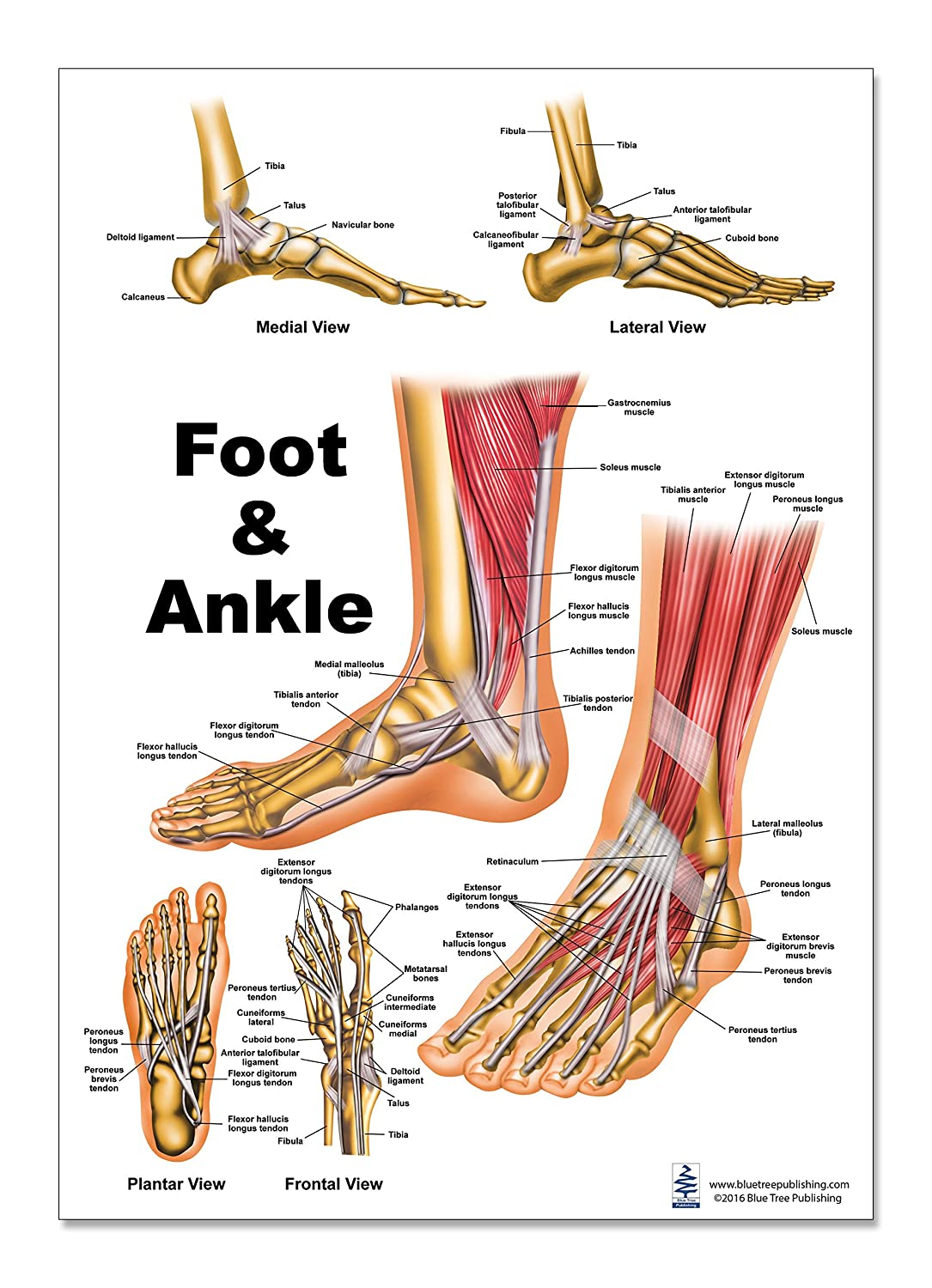 Bones And Joints Of The Foot And Ankle Overview Wiring Diagram