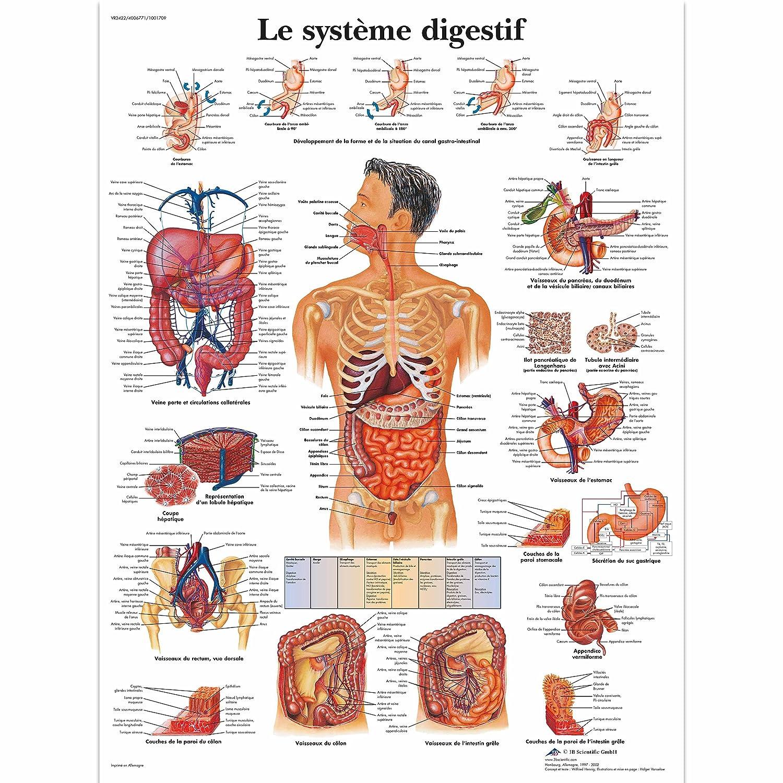 3b Scientific Vr1422l Glossy Laminated Paper The Gastrointestinal
