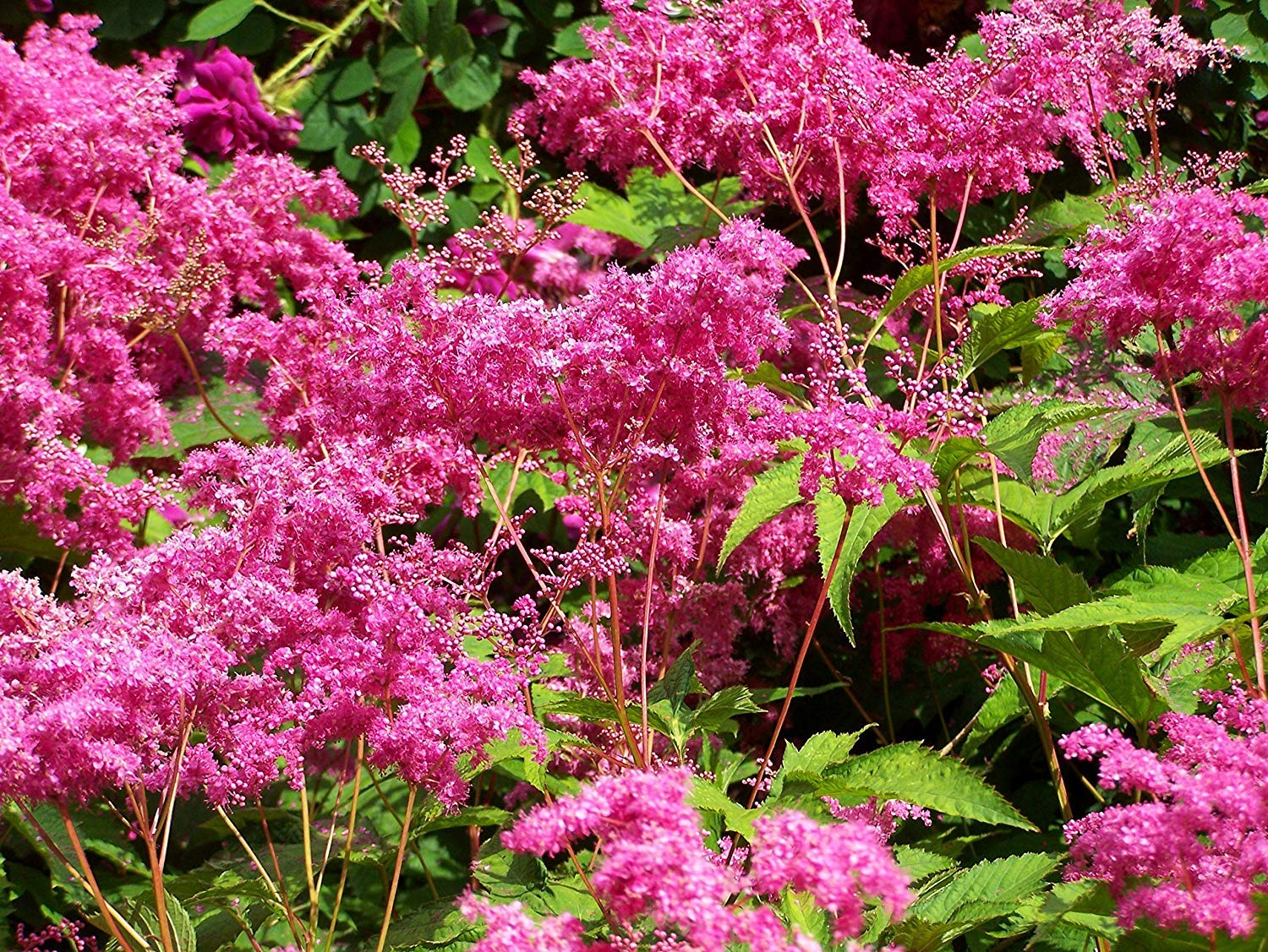 Shoppy Star: Filipendula Purpurea, (2roots) Elegant Foliage for Your Garden. Now Shipping