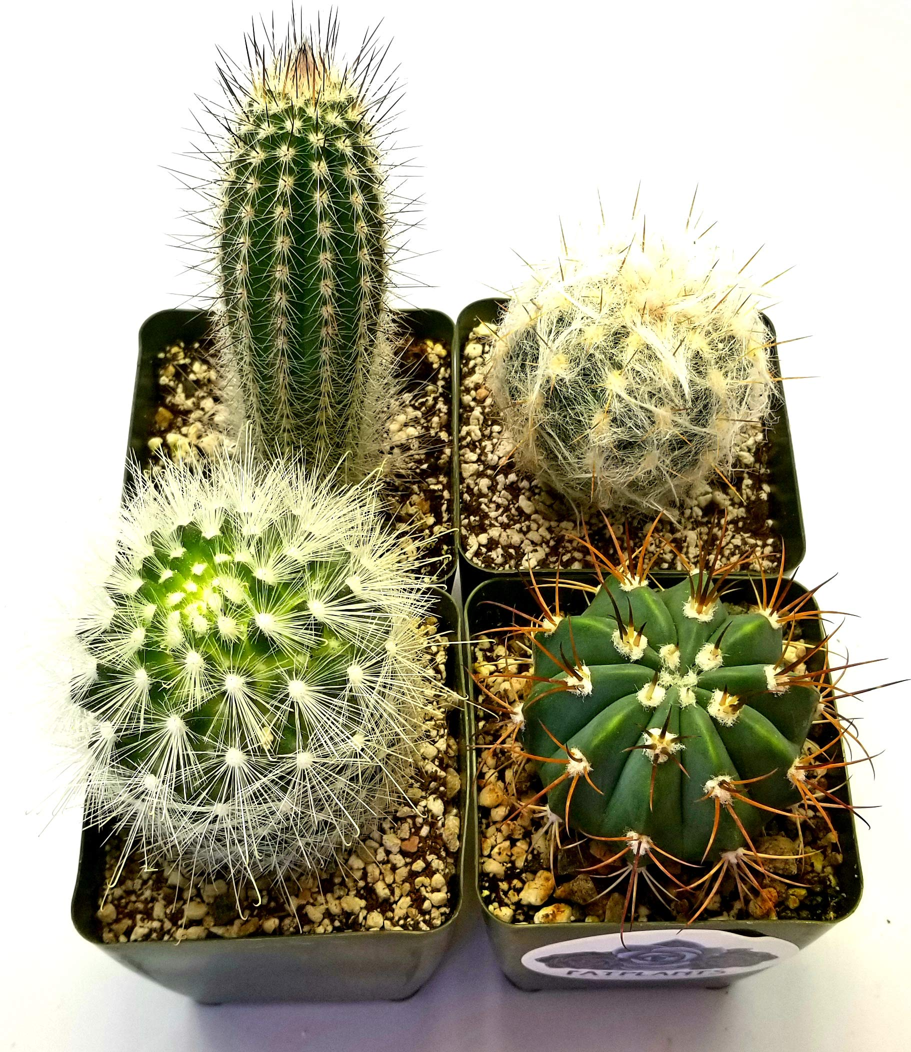 Fat Plants San Diego Large Cactus Plant(s) (2) by Fat Plants San Diego (Image #2)