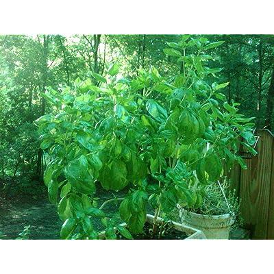 GIANT AFRICAN TREE BASIL 5 SEEDShugeFRAGRANT #1120 : Herb Plants : Garden & Outdoor