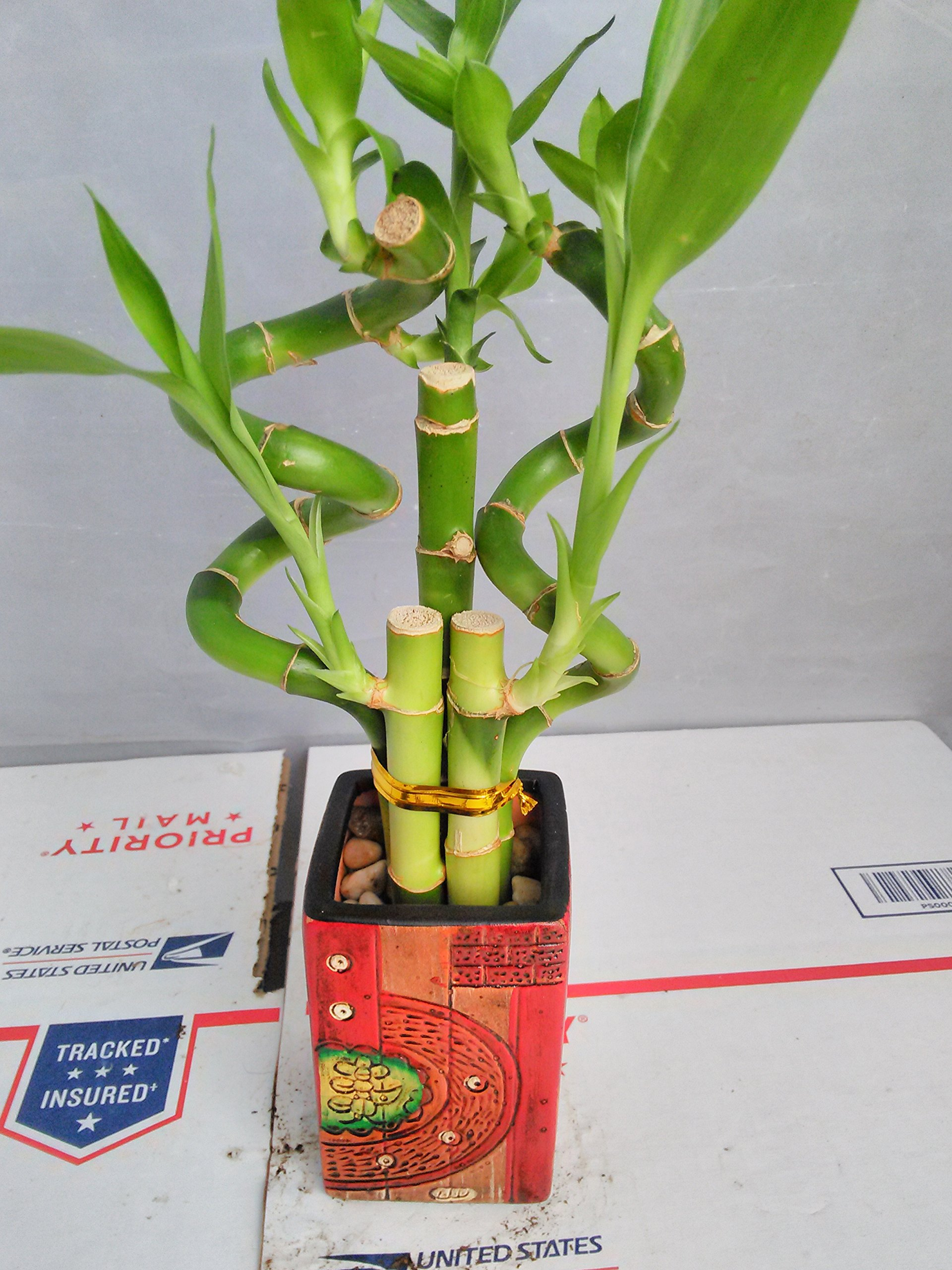 Jmbamboo - Live 5 Style of Lucky Bamboo Plant Arrangement w/ 4''ceramic Vase by JM BAMBOO (Image #3)