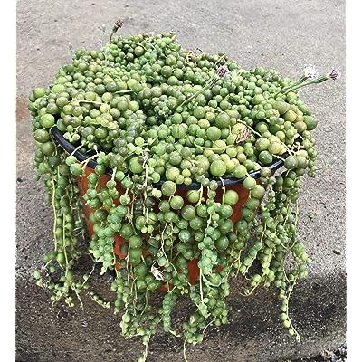 """AchmadAnam - Live - 2 Cuttings - String of Pearls Senecio rowleyanus Succulent 4-6"""" Long : Garden & Outdoor"""