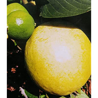 Peruvian White Guava Tree - 2 Year Old Tree : Garden & Outdoor