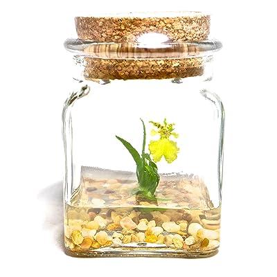 "BLOOMIFY Miniature Miniature Orchid Terrarium - Zero Care - 4"" Tall Jar - Psygmorchis pusilla Plant : Garden & Outdoor"