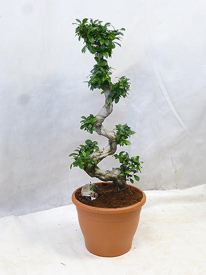 cm // Zimmerpflanze ! Ficus microcarpa Ginseng BONSAI 110/120