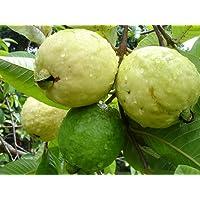 Azalea Gardens Dwarf White Indonesian Seedless Guava Psidium Guajava, 1 Healthy Live Plant