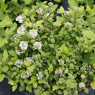 "Tiny Wine Gold Ninebark - 4"" Pot - Physocarpus - Proven Winners : Garden & Outdoor"