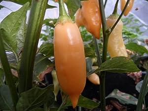 Sugar Rush Peach Pepper 10+ Seeds