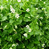 Chickweed Seeds (Stellaria media) 50+ Culinary Medicinal Herb Seeds + FREE Bonus 6 Variety Seed Pack - a $29.95 Value! Packed in FROZEN SEED CAPSULES for Growing Seeds Now or Saving Seeds for Years
