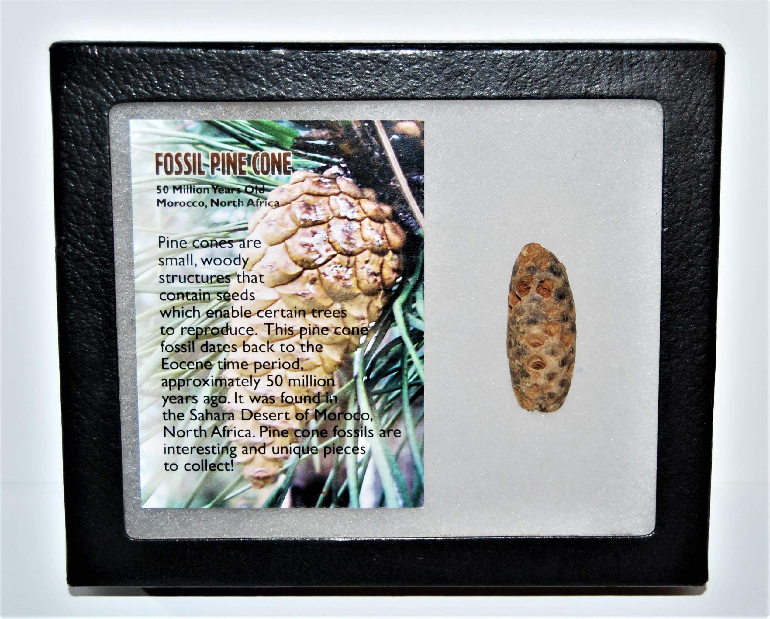 Pine Cone Fossil w/ Display Box LDB 50 Million Yrs Old COA #14037 13o
