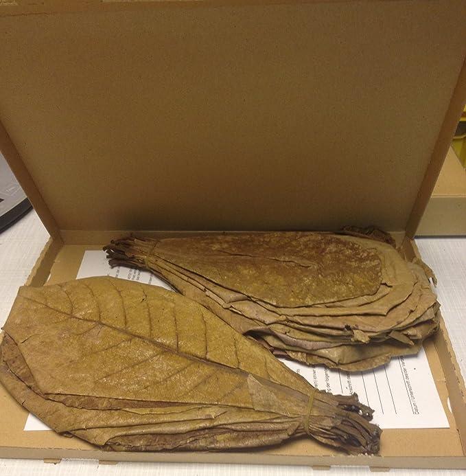 Sonderangebot: 100 Gramm (ca.35 Stück 20-30cm) Seemandelbaumblätter Terminalia Catappa Leaves TOP-Qualität