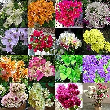 Aiden Gardens Rare Imported Mixed Color Bougainvillea Bonsai Suitable Flower Plant Seeds Home Garden Décor 20 seeds
