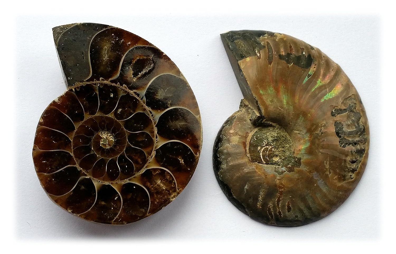 Ammonite - Cut and Polished (XXXXL)
