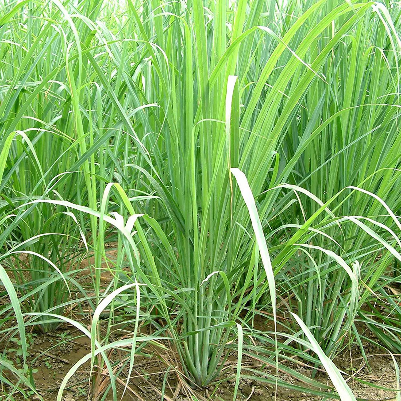 Lemongrass Seeds (Cymbopogon citratus) 50+ Rare Medicinal Herb Seeds