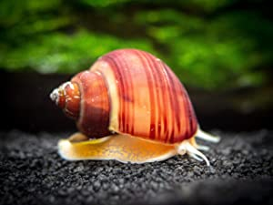 Aquatic Arts 3 Live Magenta Mystery Snails Freshwater Aquarium Scraper | Nano Fish Tank Filter | Glass Clearing Snail | Natural Decor