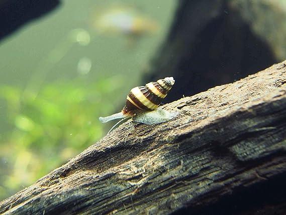 Aquatic Arts 10 Live Assassin Snails/Clea Helena | Pest Snail Remover/Pond Snail Control | Aquarium Maintenance/Nano Fish Tank Aquariums