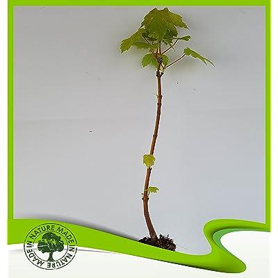 Acer pseudoplatanus (Sycamore maple) - Plant : Garden & Outdoor