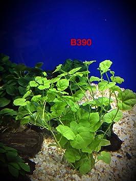 Cardamine lyrata) vivir Acuario Acuático Planta agua dulce Fish Tank Decoración por Exotic buy 2