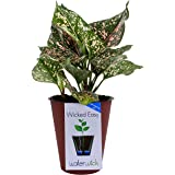 Costa Farms Pink Dalmatian Colorful Aglaonema (Chinese Evergreen) Live Indoor Plant in Self-Watering Waterwick Planter, Rosewood