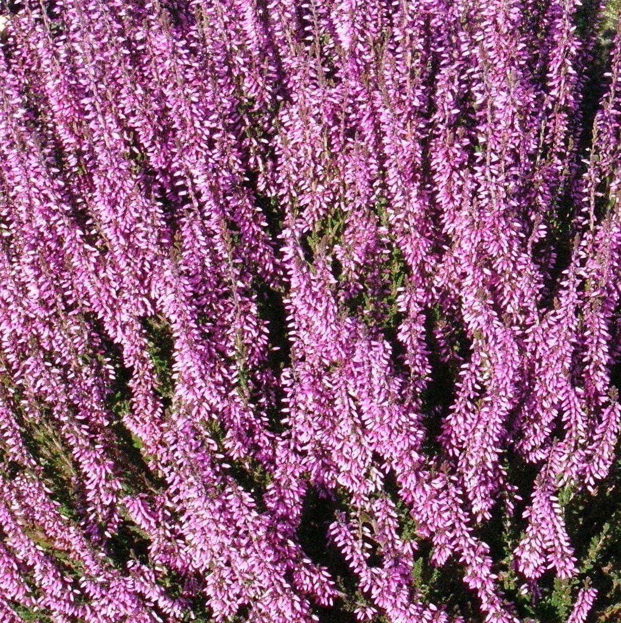 Cell grown VIVID PURPLE FLOWERS Calluna vulgaris Heather Shrub