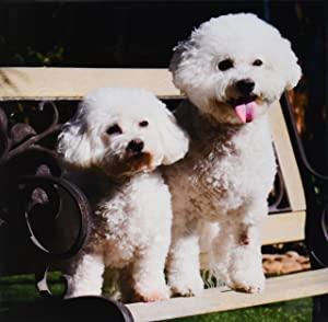 3dRose ct_88774_3 Two Bishon Frise Dog - US05 ZMU0060 - Zandria Muench Beraldo - Ceramic Tile, 8-Inch