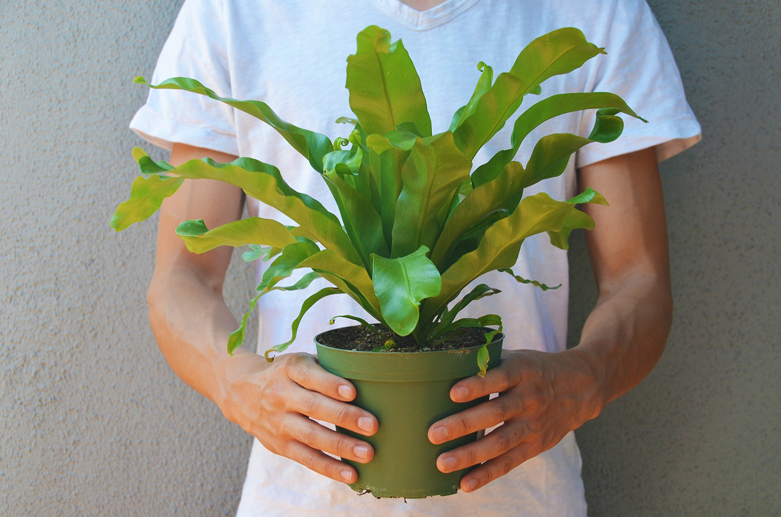 Bird's Nest Fern (12'' - 16'' Tall) - Live Plant - FREE Care Guide - 6'' Pot - Low Light House Plant by House Plant Shop