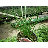 """LIVE Chives Herb Plant - Organic NON-GMO - 2 (TWO) Plants Fit 3.5"""" Pot"""