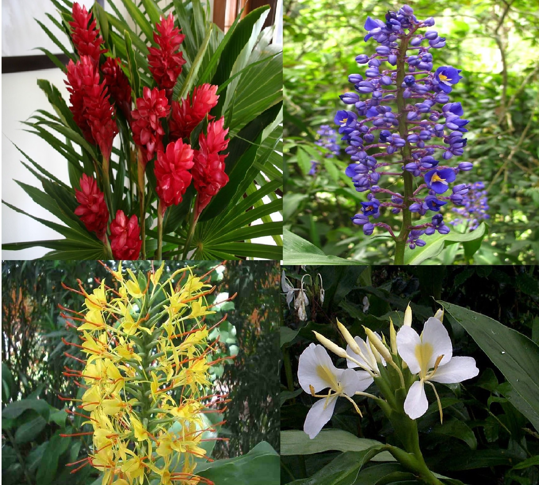 Amazon 4 mixed hawaiian ginger plant roots red blue white amazon 4 mixed hawaiian ginger plant roots red blue white yellow comes from a pest free certified hawaiian nursery flowering plants izmirmasajfo