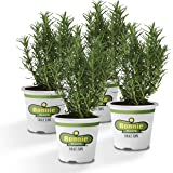 Bonnie Plants Rosemary Live Edible Aromatic Herb Plant - 4 Pack   Perennial in Zones 8 To 10   Great for Cooking & Grilling   Italian & Mediterranean Dishes, Vinegars & Oils, Breads