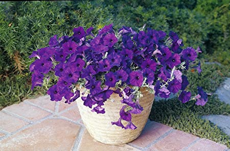 Amazon Com Blue Wave Petunia 10 Seeds Annual Flowering