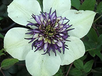 Clematis florida seiboldii striking white with double purple centre clematis florida seiboldii striking white with double purple centre flowers june to september mightylinksfo