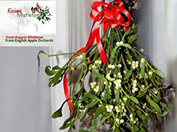 large bunch of real fresh organic mistletoe decorations tied with red christmas ribbon picked fresh