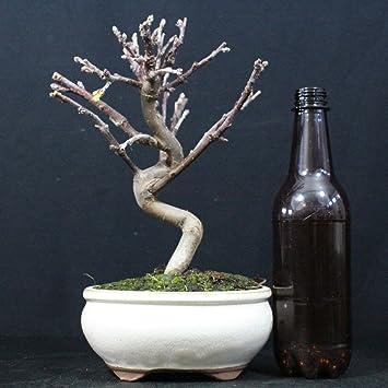 Manzano ornamental, Malus, bonsái para exterior, 8 años, altura 21 cm