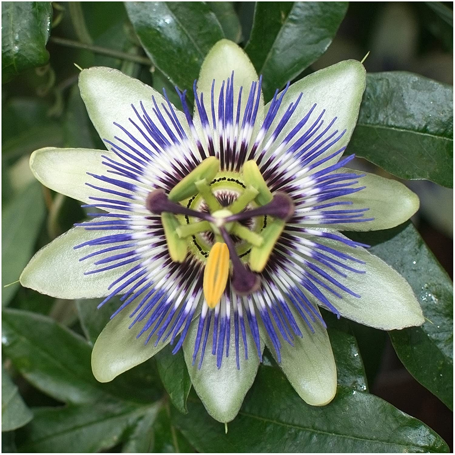 Amazon package of 100 seeds royal blue passion flower amazon package of 100 seeds royal blue passion flower passiflora caerulea non gmo seeds by seed needs flowering plants garden outdoor izmirmasajfo Images