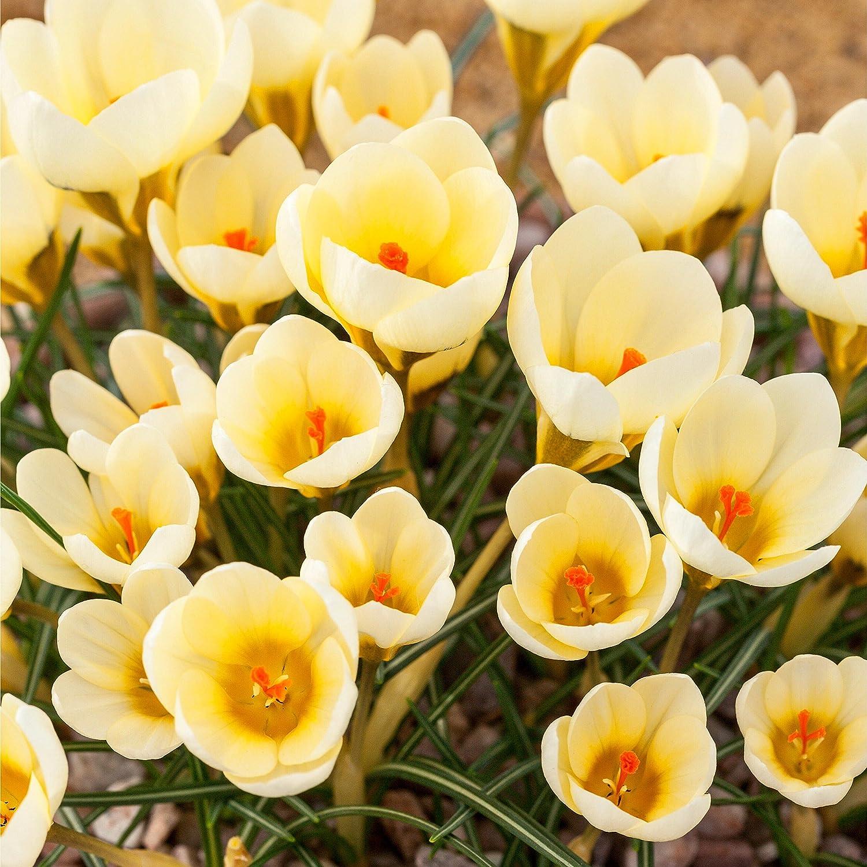 50 X Crocus Bulbs Mixed Species Spring Flowering Bulbs Amazon
