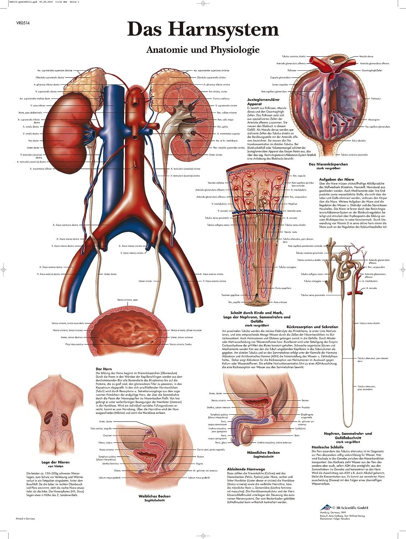 3B Scientific Lehrtafel laminiert - Das Harnsystem - Anatomie und ...