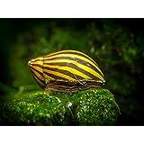 Aquatic Arts 1 Zebra Nerite Snail (Neritina natalensis - 1/2 to 1 inch in Diameter) - Live Snail