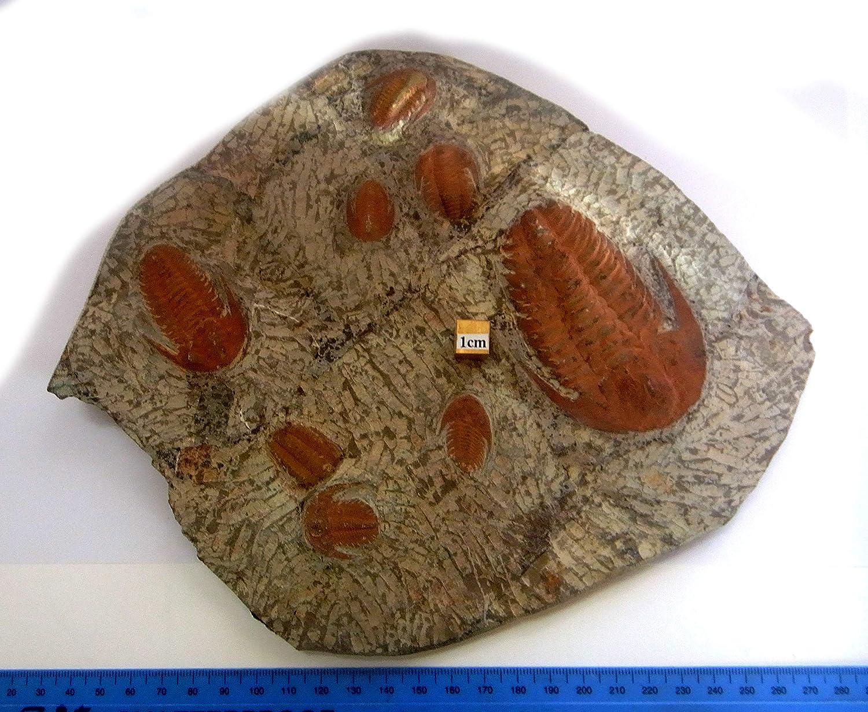 tienda hace compras y ventas Andalusana Andalusana Andalusana Trilobite - Plato de porcelana (7 piezas, 240 mm, 1015 g, st137)  mejor servicio