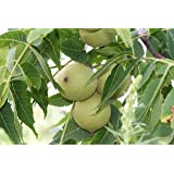 Schwarznussbaum Juglans nigra Pflanze 20cm Walnuß Nussbaum Rarität selten