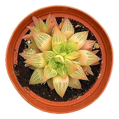 Haworthia Retusa Star Cactus - 4 inch Plant Succulent : Garden & Outdoor