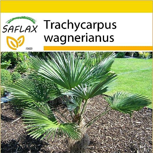 SAFLAX - Set de cultivo - Palmito wagnerianus - 4 semillas ...
