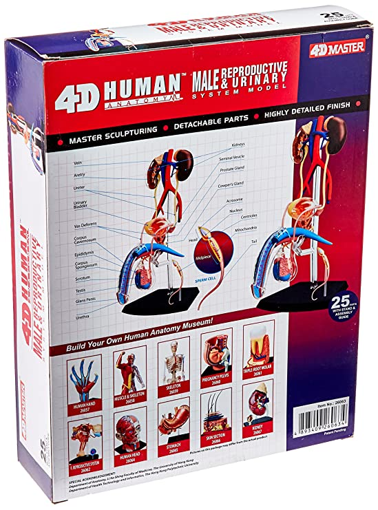 Amazon.com: Famemaster 4D-Vision Human Male Reproductive Anatomy ...