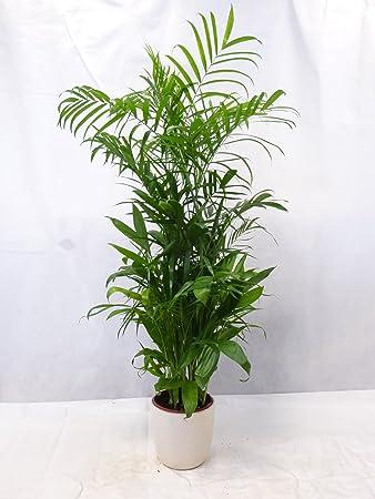 Chamaedorea Seifrizii 160 Cm Bambuspalme Seltene Zimmerpflanze