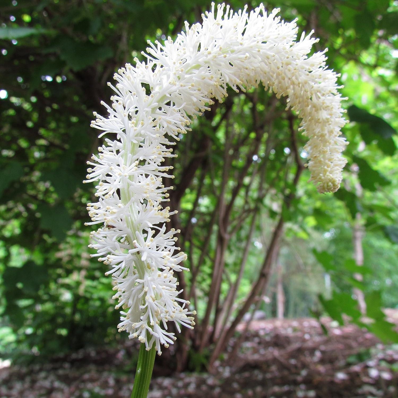 False Unicorn (Chamaelirium luteum) 10+ Rare Medicinal Herb Seeds ...