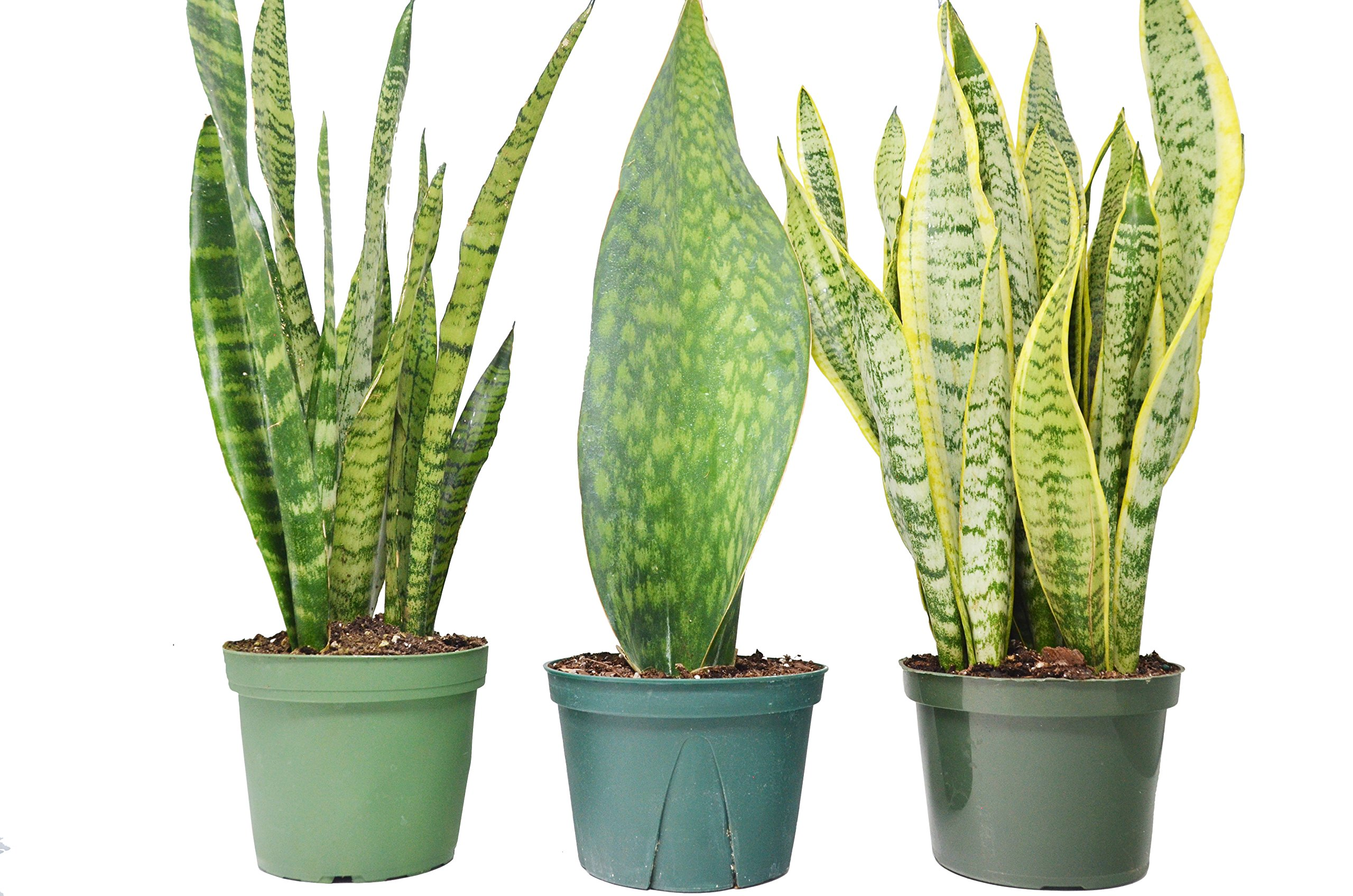 3 Snake (Sansevieria) Plants in 6'' Pots / 'Zeylanica', 'Laurentii' and 'Shark Fin' / 16'' - 24'' Tall / Live Plant / FREE Care Guide / House Plant / EASY CARE